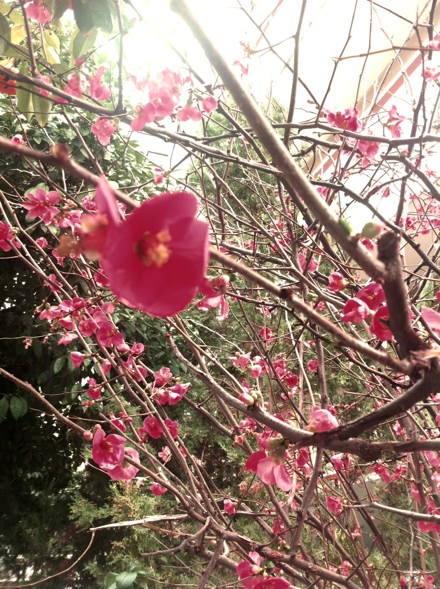 ysmf.japanese.quince
