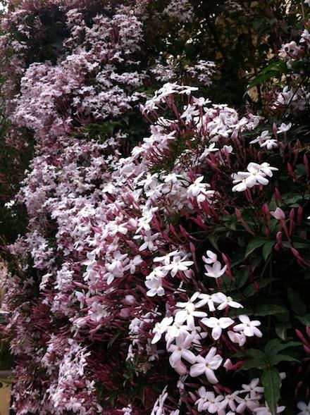 ysmf.garden.jasmine