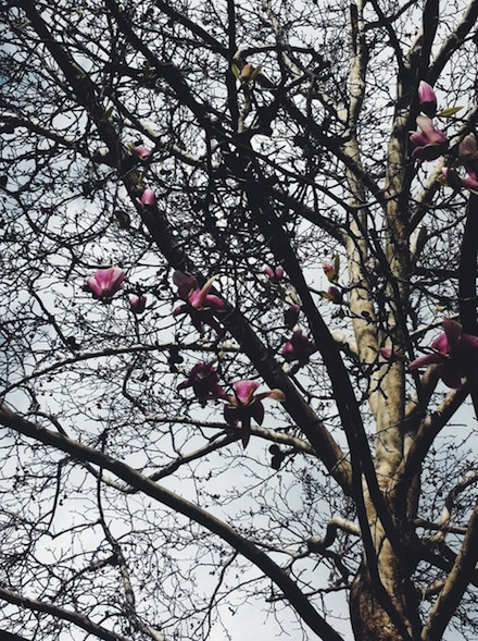 ysmf.magnolia.soulangeana