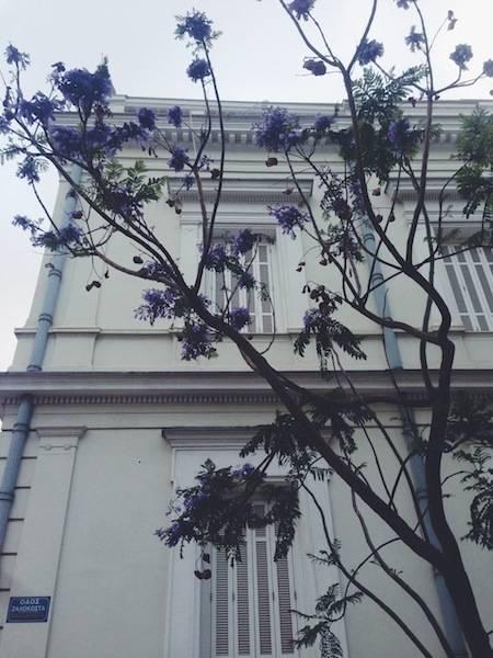 ysmf.jacaranda.tree.athens